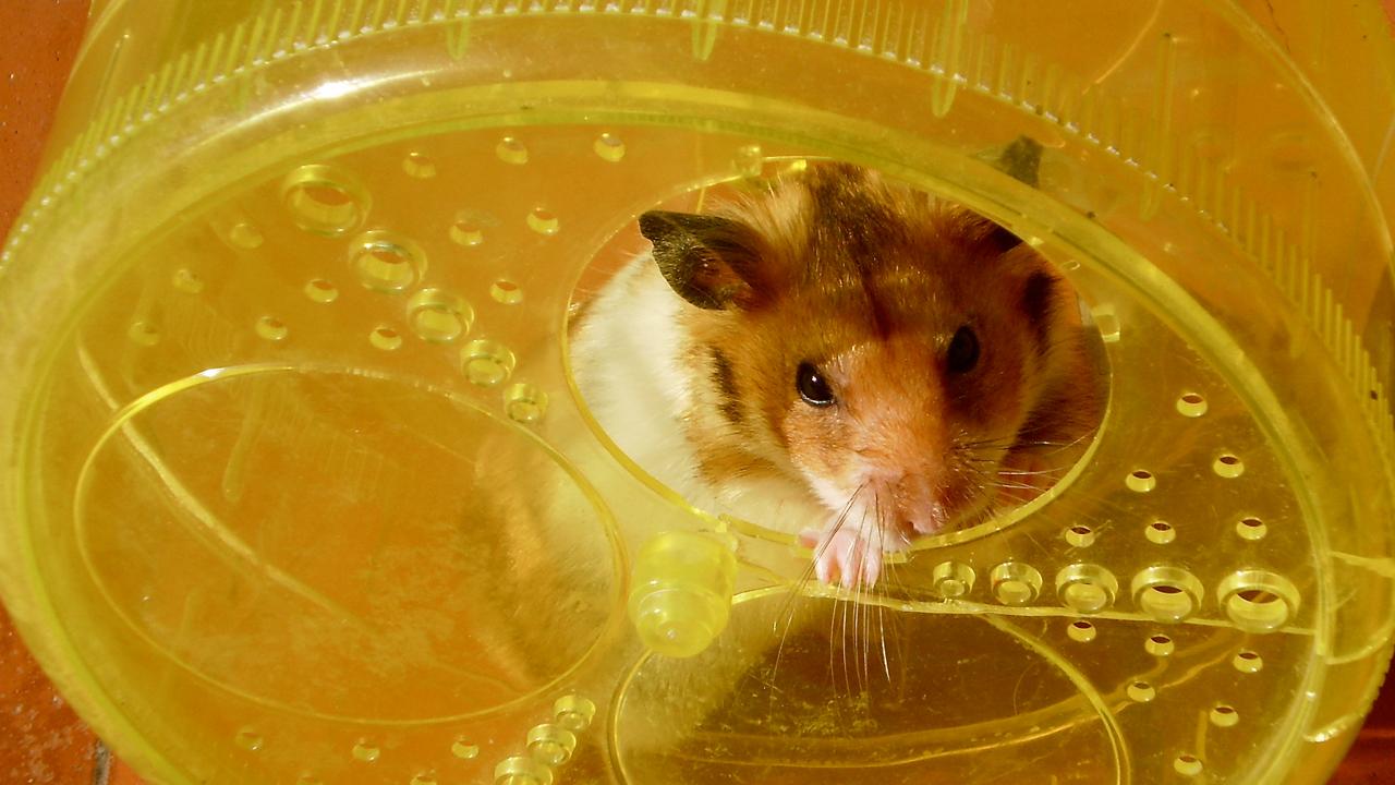 fransbauer-hamster.jpg